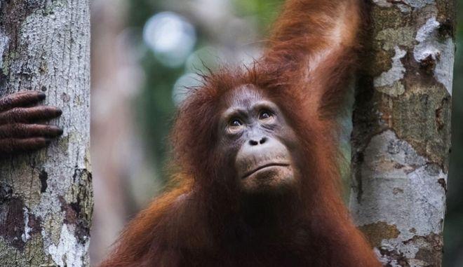 Πίθηκος στην Ινδονησία