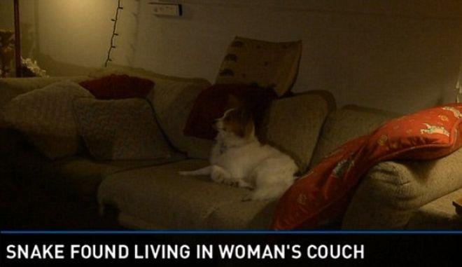 Βίντεο: Βρήκε βόα, παγιδευμένο στον καναπέ της