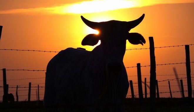 Γιατί καταδικάστηκε σε θάνατο η εγκυμονούσα αγελάδα
