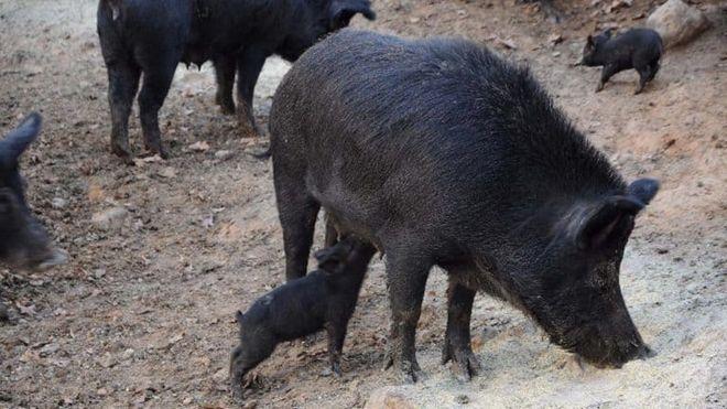 Κρέας αγριογούρουνου: Ο χρυσός έγινε… κάρβουνο