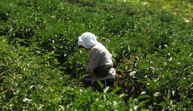 Αγρότισσα σκαλίζει καλλιέργεια βαμβακιού σε χωράφι έξω από το Μεγαλοχώρι Τρικάλων.  Σε μια καλή χρονιά εξελίσσεται η καλλιέργεια βαμβακιού, σύμφωνα με γεωπόνους, οι οποίοι σημειώνουν πως αν υπάρξει καλή τιμή και τελικά πάνε όλα καλά στην καλλιέργεια, τότε οι βαμβακοπαραγωγοί θα πάρουν οικονομική ανάσα. Μέχρι στιγμής, το πράσινο και το ρόδινο σκουλήκι βρίσκονται υπό έλεγχο και οι φετινές καιρικές συνθήκες, από τις οποίες έχει απουσιάσει ο καύσωνας, είναι ευνοϊκές, με αποτέλεσμα οι παραγωγοί να αναφέρουν ότι οι αποδόσεις θα είναι αυξημένες. Πάντως, οι βαμβακοκαλλιεργητές αναμένουν με αγωνία την τιμή, τονίζοντας πως αν εξακολουθήσει να είναι χαμηλή και άλλοι θα εγκαταλείψουν τις βαμβακοφυτείες για την επόμενη καλλιεργητική περίοδο, άσχετα αν έχουν υψηλές στρεμματικές αποδόσεις, διότι όπως εξηγούν, το κόστος παραγωγής έχει αυξηθεί κατακόρυφα, αναφέροντας το πανάκριβο πετρέλαιο κίνησης, που δεν αντισταθμίζεται με την επιστροφή μέρους του ΕΦΚ, τα επίσης πανάκριβα γεωργικά εφόδια και την αδυναμία να έχουν πίστωση από επιχειρήσεις του αγροτικού κλάδου ή δανειοδότηση από τράπεζες. (EUROKINISSI/ΘΑΝΑΣΗΣ ΚΑΛΛΙΑΡΑΣ)