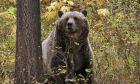 Αλάσκα: Άνδρας δέχθηκε επίθεση από αρκούδα και σώθηκε από μια σημαία