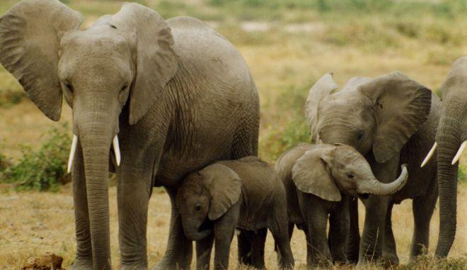Η Αφρική μπορεί να χάσει το 20% των ελεφάντων της σε 10 χρόνια λόγω λαθροθηρίας