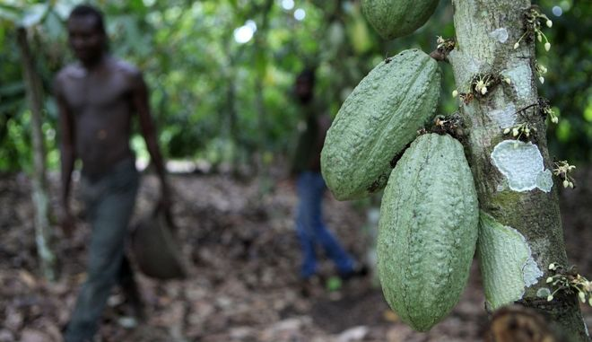In this photo taken Tuesday, May 31, 2011, farmer Issiaka Ouedraogo walks past cocoa pods growing on a tree, on a cocoa farm outside the village of Fangolo, near Duekoue Ivory Coast. The world's largest cocoa producer resumed exports in mid-May, following the end of a months-long political standoff between democratically elected president Alassane Ouattara, and incumbent Laurent Gbagbo, who refused to step down after losing November elections. Cocoa exports came to a halt in January when Ouattara called for an export ban to starve his rival financially, causing cocoa prices to skyrocket. (AP Photo/Rebecca Blackwell)