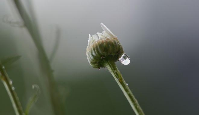Μια στάλα νερού στην άκρη ενός κλειστού μπουμπουκιού μαργαρίτας