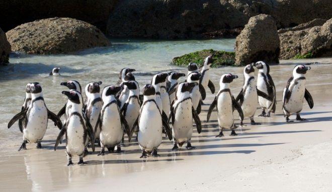Αφρικανικοί πιγκουίνοι