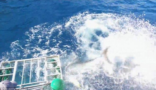 Ο απόλυτος τρόμος: Λευκός καρχαρίας μπήκε σε κλουβί δύτη [pics, vid]