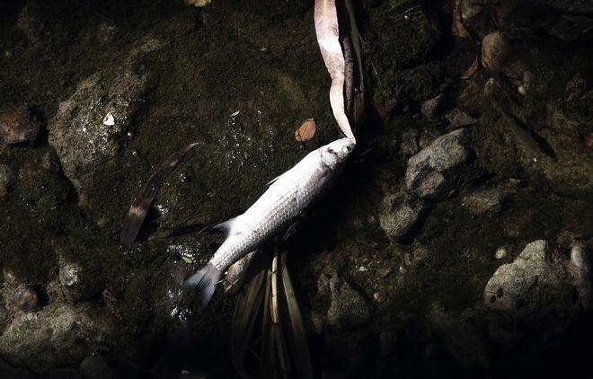 Νεκρά ψάρια επιπλέουν στο ρέμα της Πικροδάφνης στο Παλαιό Φάληρο την τρίτη 19 Σεπτεμβρίου 2017, στην εκβολή του ρέματος στον Σαρωνικό, σε ένα μικρό Δέλτα στην ακτή Εδέμ, στα σύνορα του Παλαιού Φαλήρου με τον Άλιμο. Στο σημείο της εκβολής πολλά ψάρια από τη θάλασσα μπαίνουν στο ρέμα καθώς βρίσκουν τροφή. Τις τελευταίες ημέρες, εξαιτίας της ρύπανσης από την πετρελαιοκηλίδα, τα ψάρια δεν επέστρεψαν στη θάλασσα και εγκλωβίστηκαν στο ρέμα. Εκεί όμως σύμφωνα με περιοίκους αγωγός λυμάτων έσπασε και πέφτει μέσα στο ρέμα με αποτέλεσμα τα ψάρια να πεθάνουν και να επιπλέουν νεκρά στην επιφάνεια του ρέματος. Το ρέμα της Πικροδάφνης είναι το τελευταίο της νότιας Αττικής που διατηρείται σε φυσική μορφή και πηγάζει από τη δυτική πλευρά του Υμηττού. Εχει μήκος περίπου 9,3 χιλιόμετρα και είναι το τρίτο μακρύτερο ποτάμι του λεκανοπεδίου Αττικής, μετά τον Κηφισό και τον Ιλισό. (EUROKINISSI/ΣΤΕΛΙΟΣ ΜΙΣΙΝΑΣ)
