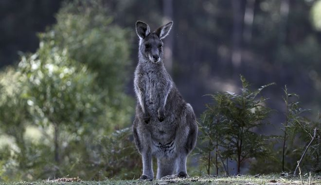 An eastern grey kangaroo stands on a hill side in the Wombeyan Karst Conservation Reserve, 120km (74 miles) south west of Sydney, Australia, Thursday, Aug. 18, 2016.(AP Photo/Rob Griffith)