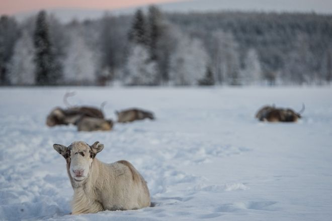 A 3500km winter roadtrip to the Arctic Circle. Reindeers rest at -36 degrees Celsius, in  Akäslompolo, Finland,  on January, 4, 2017  /   3500.  .    -36  , Akäslompolo, ,  4 , 2017