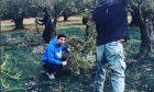 Χανταμπάκης και Πηλιάκη μαζεύουν ελιές