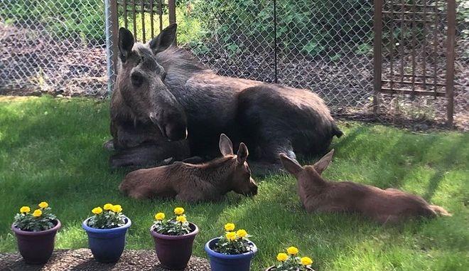 """Οικογένεια ταράνδων """"κατασκηνώνει"""" στην αυλή σπιτιού"""