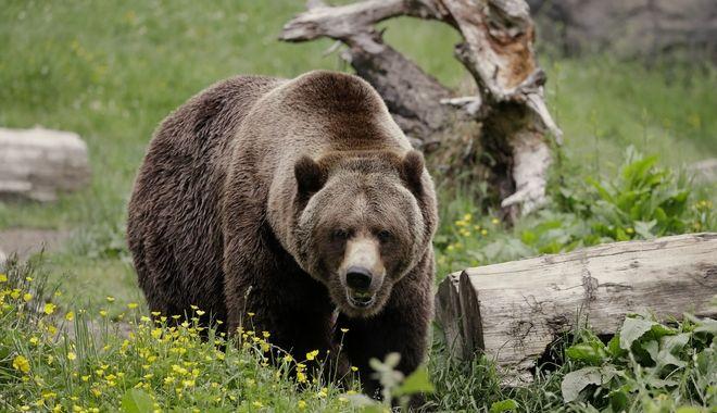 Καναδάς: Αρκούδα έγινε το θήραμα κατσίκας