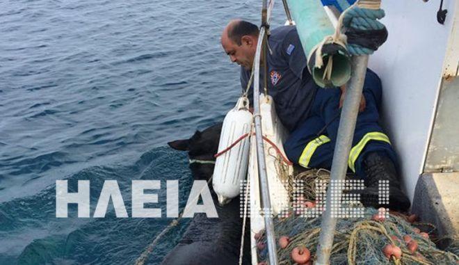 Ηλεία: Η διάσωση της Χάιδως - Φοράδα κολύμπησε, σώθηκε και βρέθηκε 15 μέρες μετά