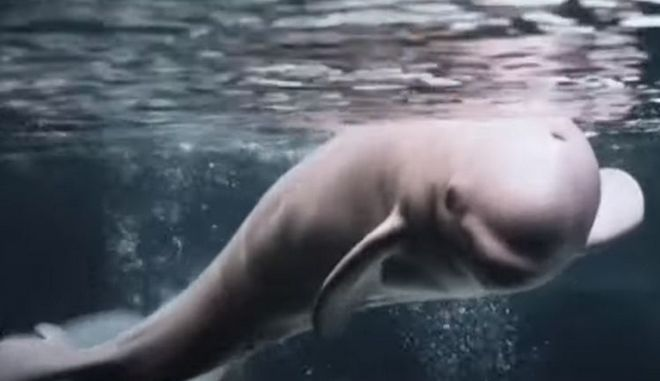 Φάλαινες μπελούγκα απελευθερώθηκαν μετά από 9 χρόνια