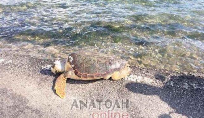 Νεκρή θαλάσσια χελώνα σε ακτή του Λασιθίου