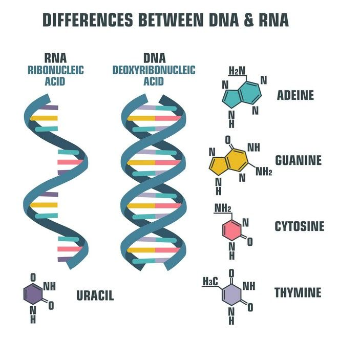 Η διαφορά του DNA με το RNA (βλ. Covid-19).