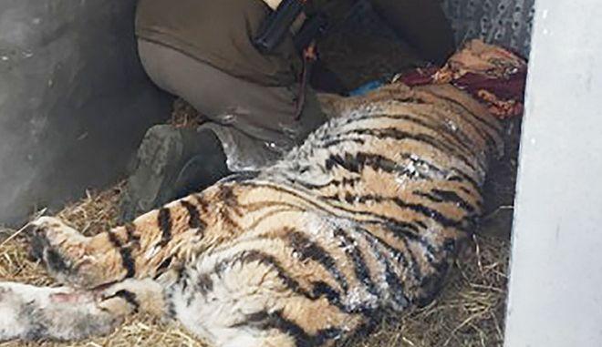 Τίγρης κατέφυγε σε χωριό 'ζητώντας' οδοντίατρο