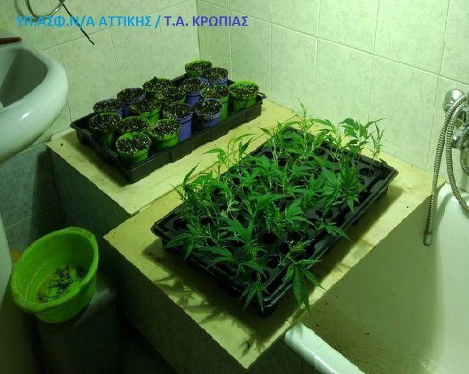 Μαρκόπουλο: Είχαν μετατρέψει σπίτι σε εργαστήριο υδροπονικής κάνναβης