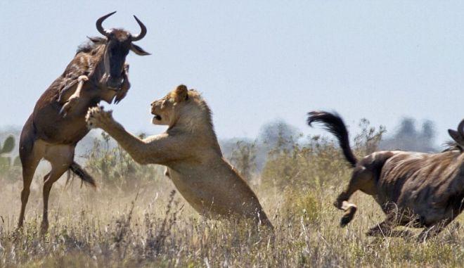 Βούβαλος γλυτώνει με άλμα από τα δόντια πεινασμένης λέαινας