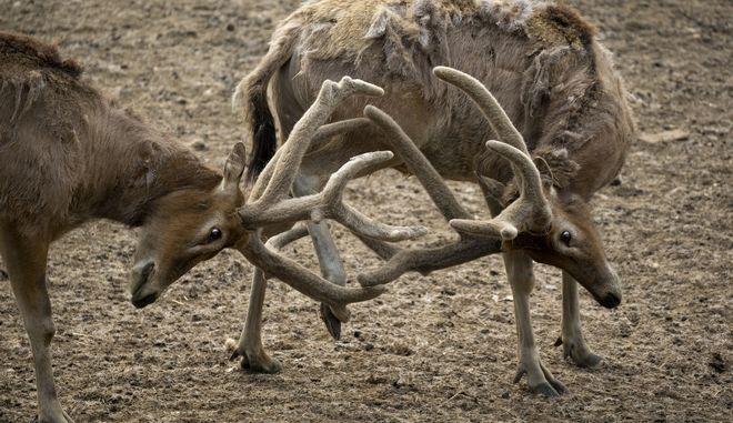 Το Ελάφι του Δαυίδ είναι ενδημικό είδος στην Κίνα, όμως το υπερβολικό κυνήγι και η απώλεια οικότοπων οδήγησε σχεδόν στην εξαφάνισή του ήδη από τις αρχές του 20ου αιώνα
