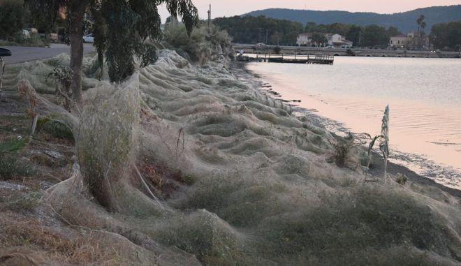 """Τεράστιος ιστός αράχνης """"κατάπιε"""" 300 μέτρα βλάστησης στο Αιτωλικό"""