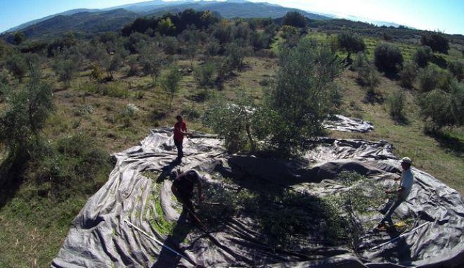 Αεροφωτογραφία από το μάζεμα ελιάς στην Ακροποταμιά της Ηλείας