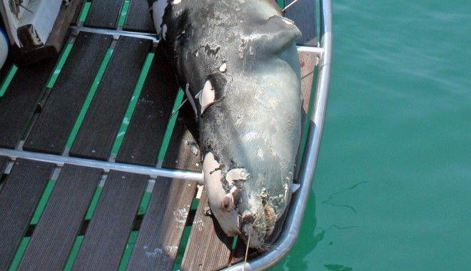 Νεκρή βρέθηκε η διάσημη φώκια της Αλοννήσου