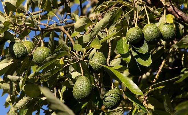 Το αβοκάντο κερδίζει τους Ιταλούς παραγωγούς