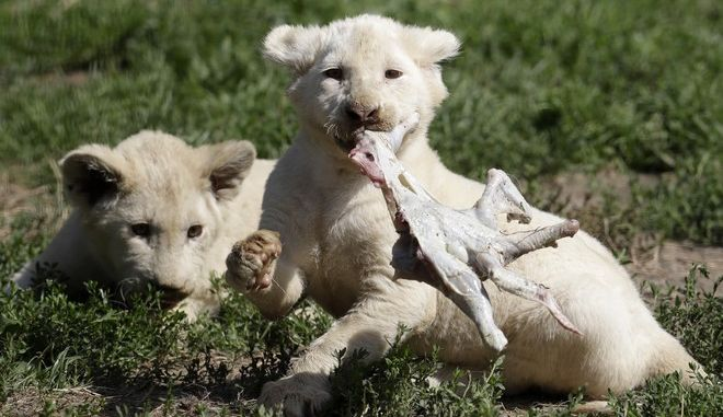 Two of the newly born white lion quintuplets feed  chicken inside their enclosure at the Dvorec Zoo in Dvorec, Czech Republic, Monday, Aug. 7, 2017. The five cubs, one male and four female, were born on May 04, 2017. For the critically endangered white lion, the quintuplets that were born in a czech zoo mean a vital contribution for their survival and a joy and responsibility of their keepers. (AP Photo/Petr David Josek)