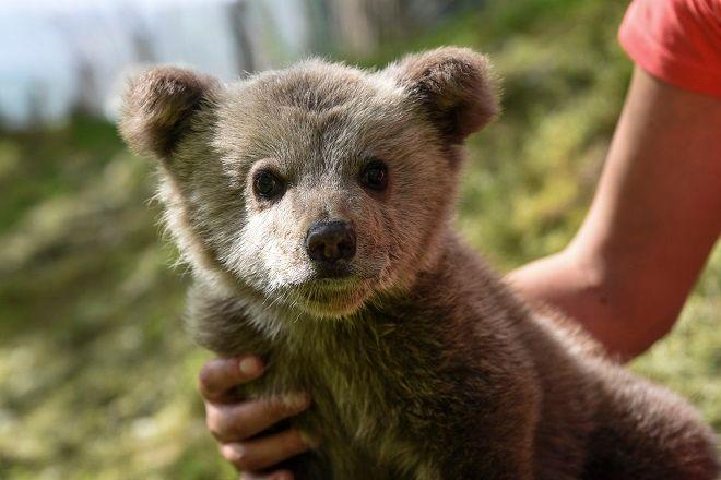 Ένα ορφανό αρκουδάκι, μόλις λίγων μηνών, σώθηκε πριν από λίγες ημέρες χάρη στον ΑΡΚΤΟΥΡΟ