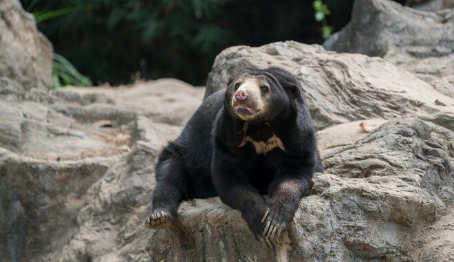 Αρκούδα της Μαλαισίας ή αρκούδα του Ήλιου