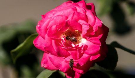 Μια μέλισσα μαζεύει την γύρη από τριαντάφυλλο