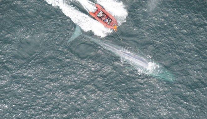Επιστήμονες άκουσαν για πρώτη φορά την καρδιά μιας γαλάζιας φάλαινας