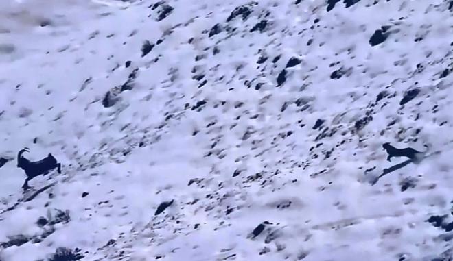 Απίστευτο βίντεο: Καταδίωξη αγριοκάτσικου από λεοπάρδαλη καταλήγει σε πτώση 120 μέτρων