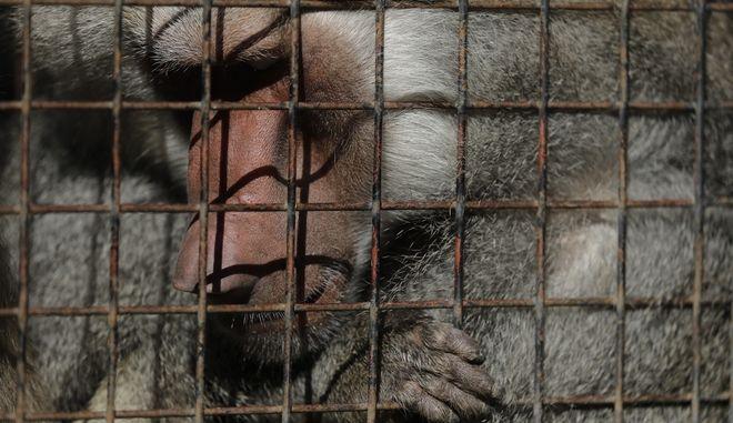 Συναγερμός στη Γαλλία: 50 Μπαμπουίνοι δραπέτευσαν από ζωολογικό κήπο