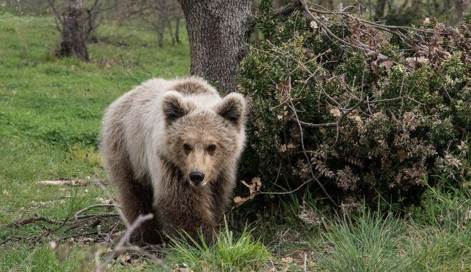 Γύρισε στη φύση ο Πάτρικ, το ορφανό αρκουδάκι