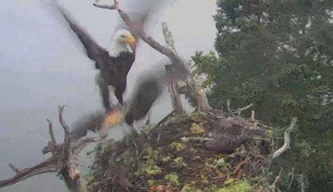 Βίντεο: Λευκοκέφαλοι χτυπάνε φωλιά ψαραετών