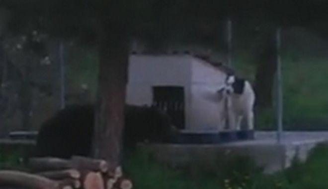 Βίντεο: Σκύλος 'παίζει' με αρκούδα στη Φλώρινα