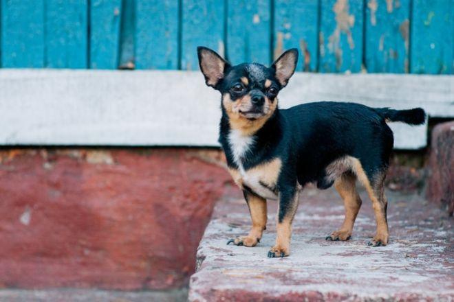 """ΗΠΑ: Σκυλίτσα έσωσε το """"αφεντικό"""" της που έπαθε εγκεφαλικό"""