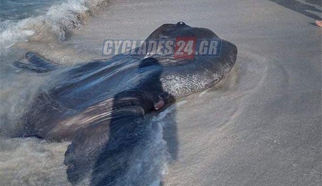 Τεράστιο ψάρι ξεβράστηκε σε παραλία της Μήλου