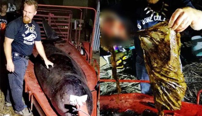 """Φάλαινα πέθανε από """"γαστρικό σοκ"""" - Κατάπιε 40 κιλά πλαστικές σακούλες"""