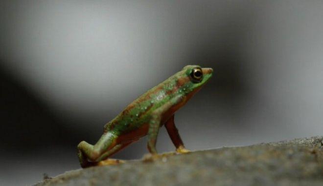 Επανεμφανίστηκε στον Ισημερινό σπάνιος βάτραχος αρλεκίνος