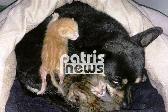 Σκυλίτσα στη Μυρσίνη Ηλείας θηλάζει τρία ορφανά γατιά