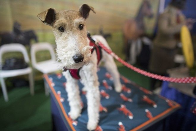 Shamus, a wire fox terrier, is shown during the meet the breeds companion event to the Westminster Kennel Club Dog Show, Saturday, Feb. 10, 2018, in New York. (AP Photo/Mary Altaffer)
