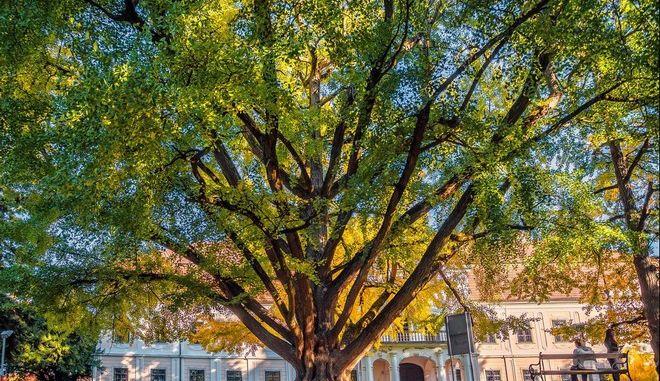 """Ένα """"ερωτευμένο"""" δέντρο, ηλικίας 242 ετών, σε ευρωπαϊκό διαγωνισμό"""