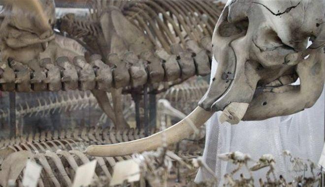 Γαλλία: Διαρρήκτης επιχείρησε να κλέψει τον χαυλιόδοντα από τον ελέφαντα του Λουδοβίκου του 14ου