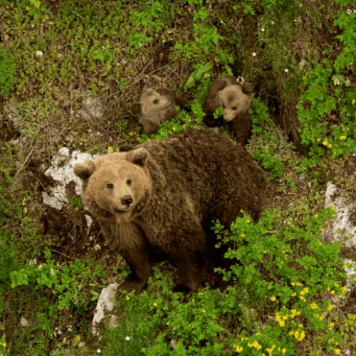 Καφέ αρκούδα (Ursus arctos) στον ορεινό όγκο Μάλι-Μάδι, στην Καστοριά. Ένα από τα πιο εμβληματικά θηλαστικά της ελληνικής φύσης. Οι μεγαλύτερες απελές για το είδος στη χώρα μας είναι η αλλοίωση, απώλεια και κατακερματισμός του διαθέσιμου βιότοπου, καθώς και το παράνομο κυνήγι.