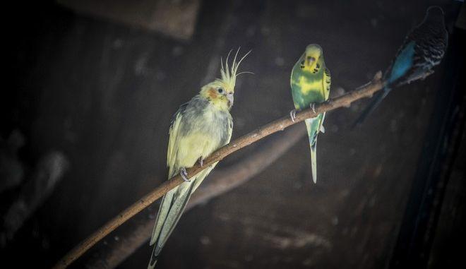 Παπαγάλοι