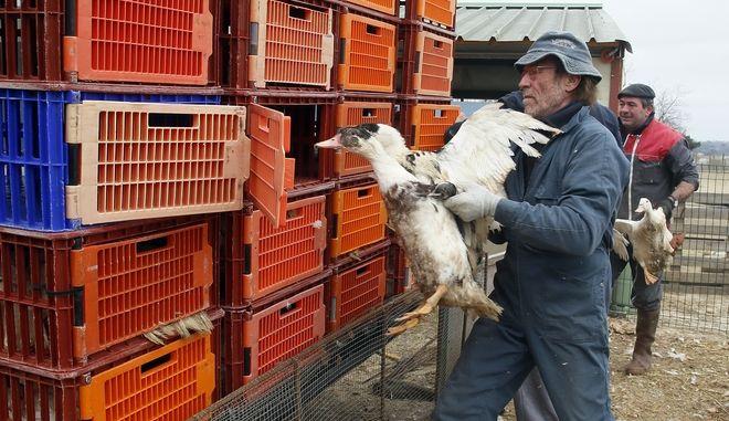 Φάρμα πουλερικών. Φωτό αρχείου.